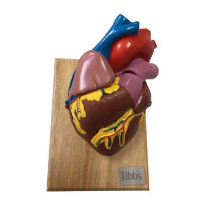 Labor Brindes - Modelo Anatômico Coração